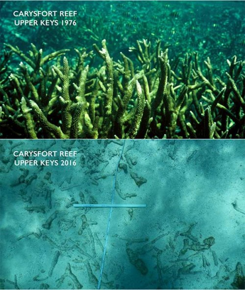 Carysfort 2016 – The extensive thickets of staghorn corals are gone today replaced by a structure-less bottom littered with the decaying skeletons of staghorn coral. Credit: Chris Langdon, Ph.D.