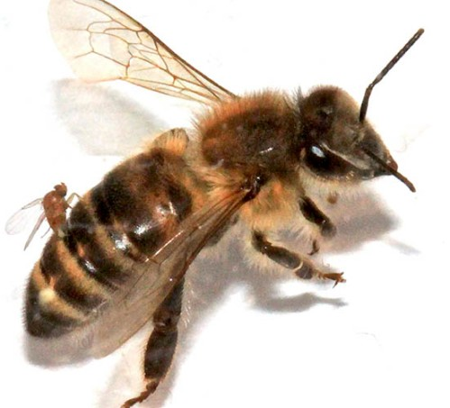 "An Apocephalis borealis female oviposits on bee. After being infected by the fly parasite, bees abandon their hives to congregate at night near lights, dying after a bout of disoriented, ""zombie-like"" behavior. Researchers at SF State confirmed this week the first ""zombie bee"" discovery in the southern United States. Photo credit: Christopher Quock"