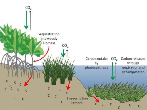 This figure illustrates the efficiency of (L-R) mangrove forests, salt marshes and seagrass beds as reservoirs for carbon. More carbon dioxide is taken up from the atmosphere (green arrows) than is re-released (black arrows), while a substantial amount is stored in soils (red arrows) for hundreds to thousands of years if left undisturbed. Image Credit: Howard et al., 2017, Frontiers in Ecology and the Environment